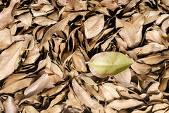 Dried leaves on the ground Stock Photography