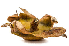 Dried leaves of persimmon fruits,  on white background Stock Images