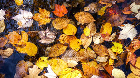 Dried leaves in a pond Stock Images