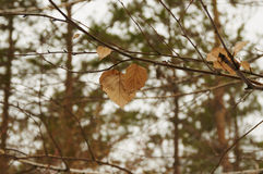 Dried leaves. On the tree for Change Royalty Free Stock Image