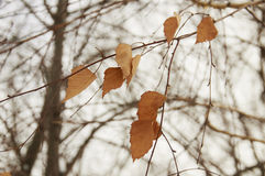 Dried leaves. On the tree for Change Royalty Free Stock Images
