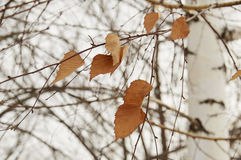 Dried leaves. On the tree for Change Stock Photos