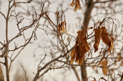 Dried leaves. On the tree for Change Royalty Free Stock Photography
