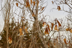 Dried leaves. On the tree for Change Royalty Free Stock Photos