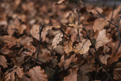 Dried leaves in winter, selective soft focus Royalty Free Stock Images