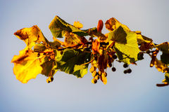 Dried lime blossom on sunset light Royalty Free Stock Images