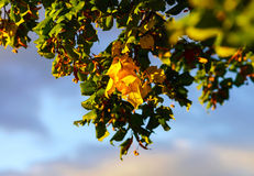 Dried lime blossom on sunset light Stock Image