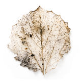 Dried lime tree leaf Royalty Free Stock Image