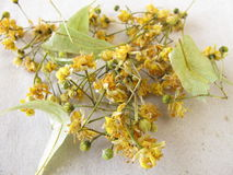 Dried linden flowers Stock Photography