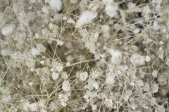 Dried little white flowers bud background Stock Images