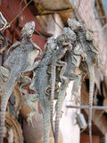 Dried lizards in chinese shop in Kashgar Royalty Free Stock Image