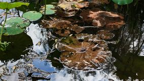 Dried lotus leaf in the pool Stock Image