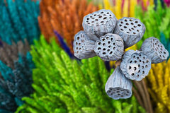 Free Dried Lotus Pods Gray Red Yellow Green Flowers Nature Outdoor Royalty Free Stock Photography - 61522207