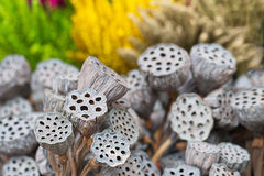 Dried lotus pods gray red yellow green flowers nature outdoor Stock Photography