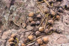 Dried lotus on rocks. royalty free stock photos
