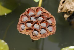 Dried lotus seeds. In the pond stock photos