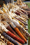 Dried maize corn harvest time - Autumn in Michigan Royalty Free Stock Images