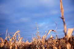 Dried maize plants under a cloudy blue sky Stock Image