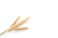 Dried malt flowers. On white background royalty free stock image