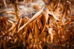 Dried Mango Leaf Royalty Free Stock Photos