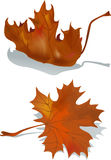 Dried maple leaf. Two dried maple leaf  (mash object Royalty Free Stock Image
