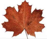Dried maple leaf background Royalty Free Stock Images