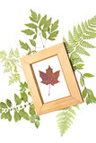 Dried maple leaf in a frame. Dried maple in a frame on a natural background Royalty Free Stock Images