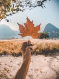 Dried Maple Leaf Held by Person stock image