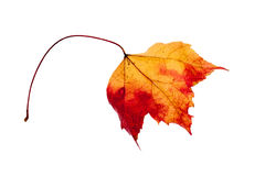 Dried maple leaf isolated on a white background Stock Photo