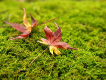 Dried Maple leaf on moss Royalty Free Stock Photography