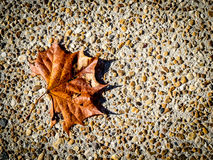 Dried Maple Leaf on Pebble Background Royalty Free Stock Photos