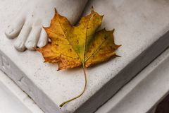 Dried maple leaf Stock Images