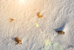 Dried maple leaf in the snow Stock Photo
