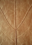 Dried maple leaf texture. Royalty Free Stock Photo