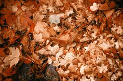 Dried Maple Leaves Royalty Free Stock Photography