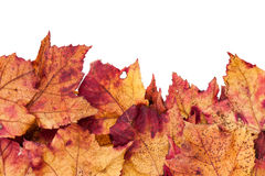 Dried maple leaves border isolated on white Royalty Free Stock Photos