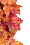 Dried maple leaves border isolated on white Stock Images