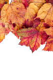 Dried maple leaves border isolated on white Stock Photo