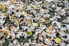 Dried Maple Leaves on the grass royalty free stock photography