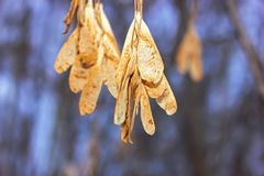 dried maple seeds on a blurred background in winter stock photography