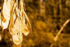 Dried maple seeds Stock Photo
