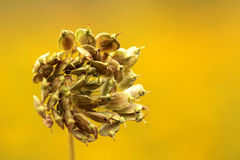 Dried meadow flower Stock Images