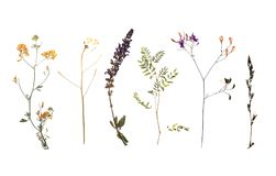 Dried meadow flowers on white background. Top view royalty free stock images