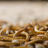 Dried mealworms background Royalty Free Stock Photo