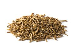 Dried mealworms. Isolated on a white background stock image