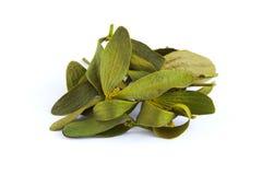 Dried mistletoe leaves Stock Photography