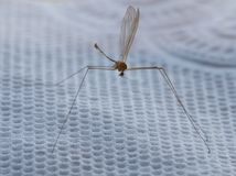 Dried mosquito Stock Images