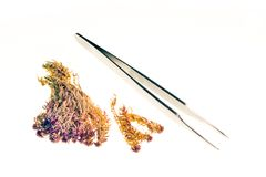 Dried moss sample and tweezers Stock Image