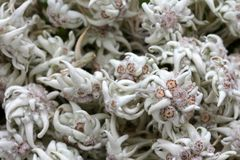 Dried mountain flower - Edelweiss Royalty Free Stock Image