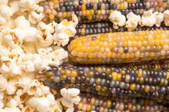 dried multicolored corn on the cob ready to pop popcorn or make grit with already popped popcorn stock photography